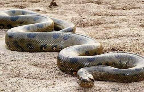 Dünyanın en uzun yılanı bulundu!