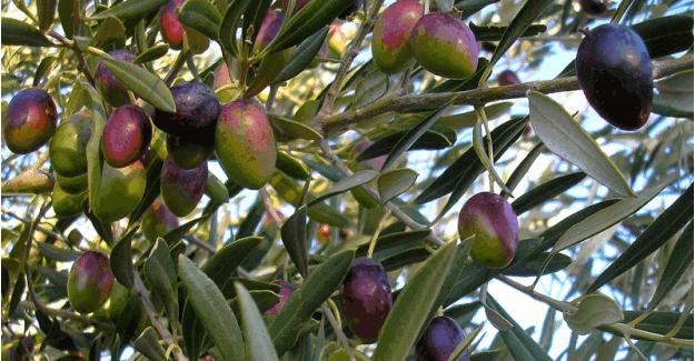 Doğal Zeytinyağının Farkları ve Faydaları