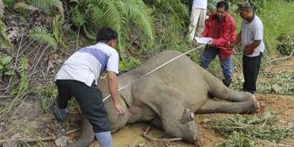 26 fil zehirlenerek öldürüldü