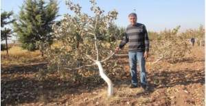 Bahçesinde ki 120 fıstık ağacını kestiler