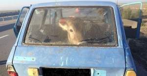 İneği araba ile kaçırırken yakalandılar