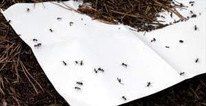 Kırmızı karıncalar, ormanların sigortası