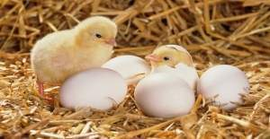 Yumurta getirene civciv var!