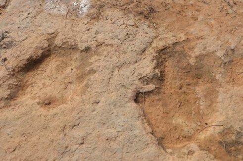 Dinozorlara ailt 100 ayak izi bulundu
