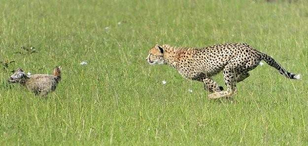 Çita tilkiyi gözüne kestirdi ama
