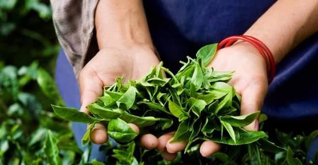 Yerli çay için 'Ulusal Gen Havuzu' oluşturulacak