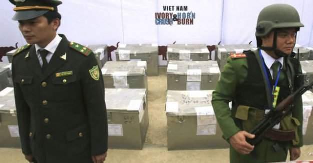 Vietnam'da 2 ton fildişi ve gergedan boynuzu imha edildi.