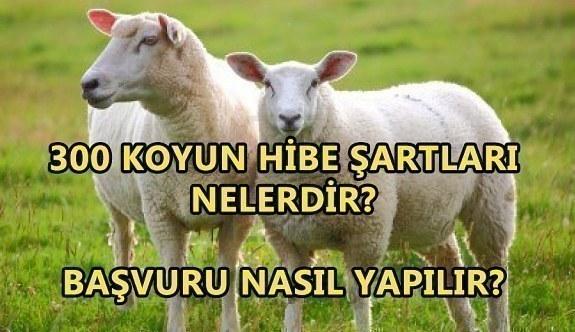 300 Koyun hibe şartları nelerdir? Başvuru nasıl yapılır?