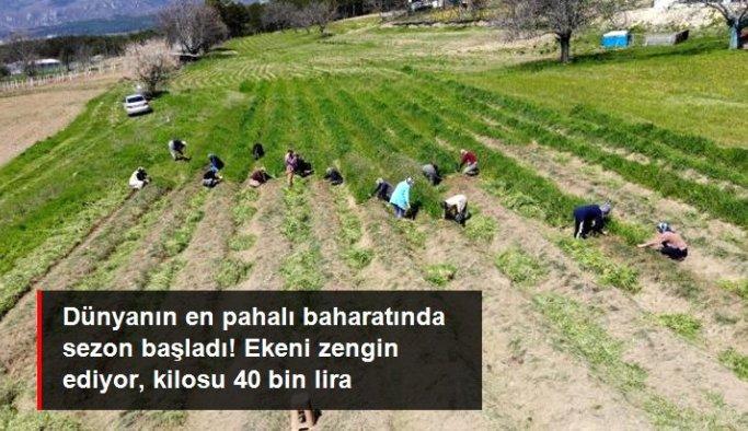 Kilosu 40 bin lira! 'Dünyan en pahalı baharatı' olarak adlandırılan safranda sezon başladı