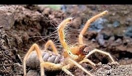 Muğla'da insan eti yiyen 'Sarıkız Böceği' görüldü
