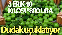 Yeşil Erik Altın Çağını Yaşıyor!...